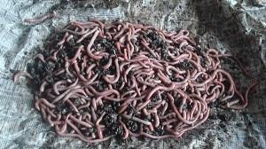 Контейнер для разведения червей своими руками