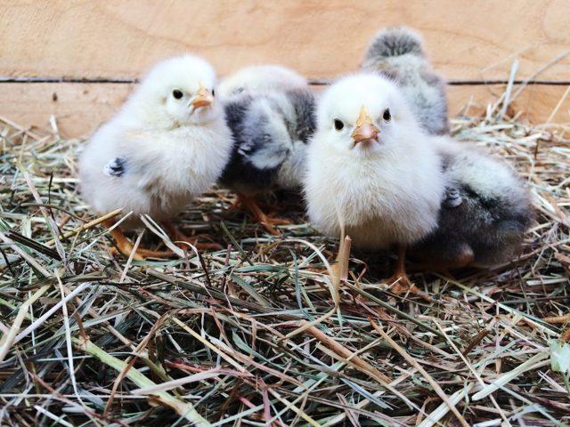 Брудер для цыплят своими руками